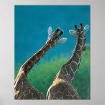 Two Giraffes (Giraffa camelopardalis) Posters