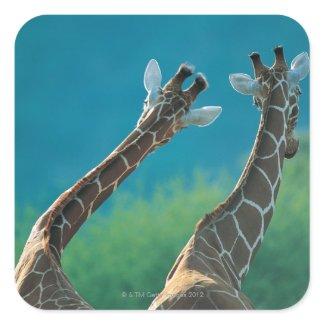 Two Giraffes (Giraffa camelopardalis) Square Sticker