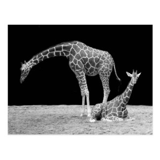 Two Giraffes in Black and White Postcard