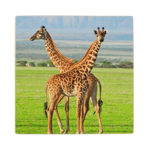 Two Giraffes Wood Coaster