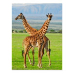 Two Giraffes Post Cards