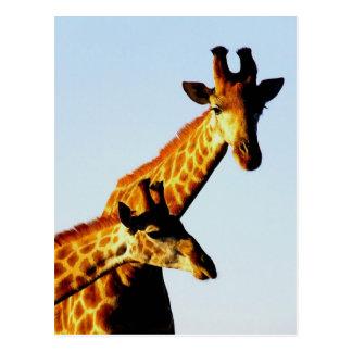 two giraffes postcard