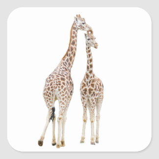 Two giraffes square sticker