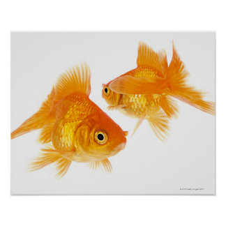 Two Goldfish Crossing Each Other Poster