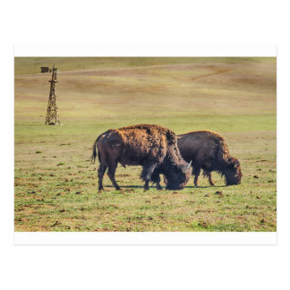 Two Grazing Buffaloes on The Range Postcard