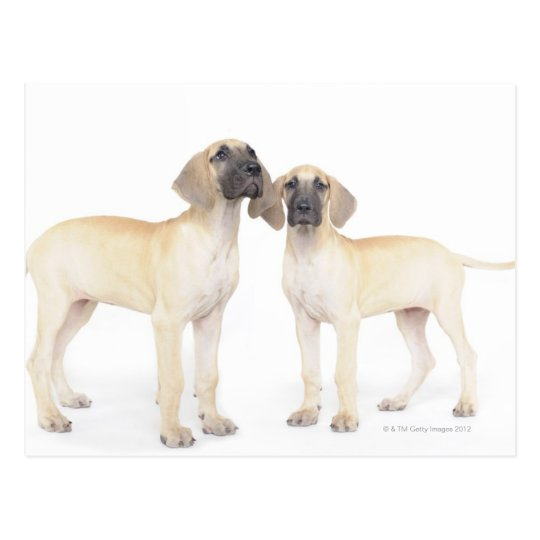 Two Great Danes Postcard