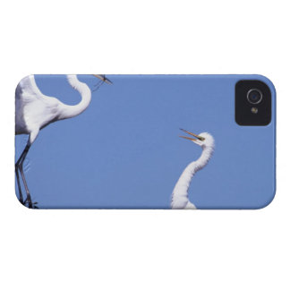 Two Great Egrets (Ardea alba) in a courtship Case-Mate iPhone 4 Case