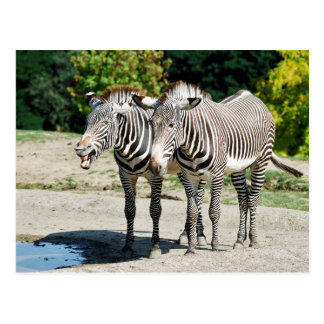 Two Grevy zebras near a pond Postcard