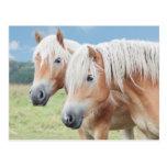 two Haflinger Postcards