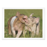 Two Happy Playful Piglets 12 x16 Photograph