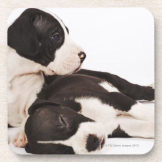 Two Harlequin Great Dane puppies on white Beverage Coaster