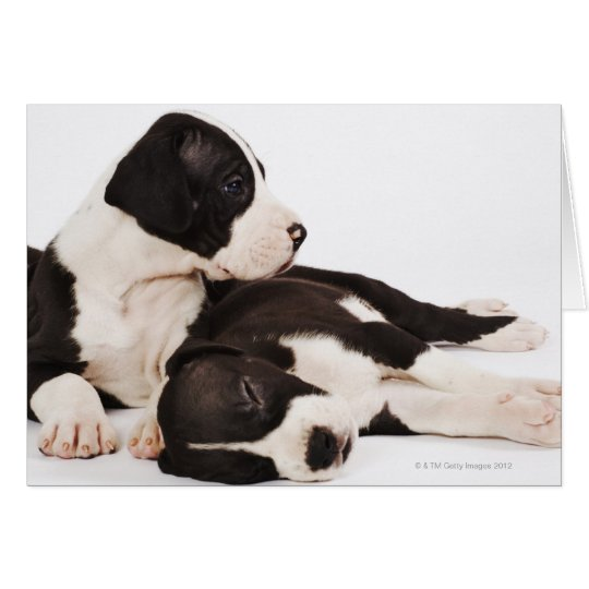Two Harlequin Great Dane puppies on white Card