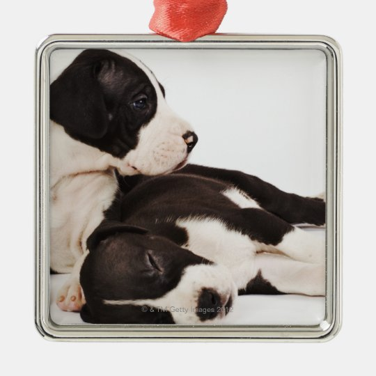Two Harlequin Great Dane puppies on white Metal Ornament