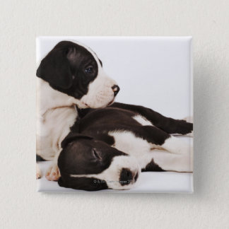 Two Harlequin Great Dane puppies on white Pinback Button