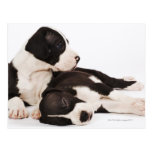 Two Harlequin Great Dane puppies on white Postcards