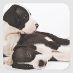 Two Harlequin Great Dane puppies on white Square Stickers