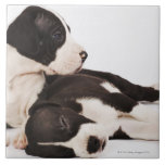 Two Harlequin Great Dane puppies on white Tiles
