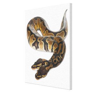 Two headed Royal Python or Ball Python - Python Canvas Print