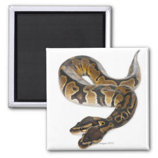 Two headed Royal Python or Ball Python - Python Magnet