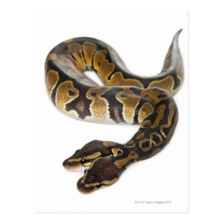 Two headed Royal Python or Ball Python - Python Postcard