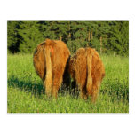 Two Highland Cattle Rears in Upper Austria Postcard
