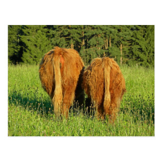 Two Highland Cattle Rears in Upper Austria Postcards