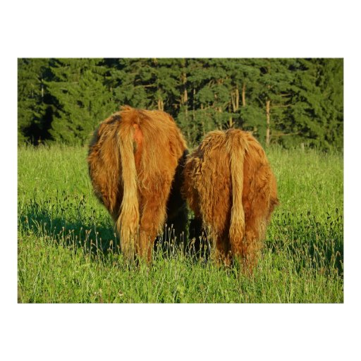 Two Highland Cattle Rears in Upper Austria Poster