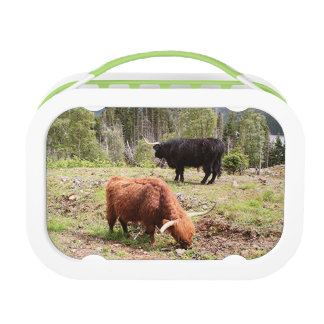Two highland cattle, Scotland Lunch Box
