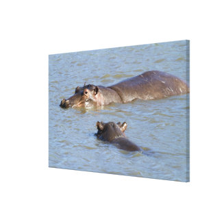 Two hippos in a river, Kruger National Park, Canvas Print