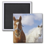 Two Horses 2 Inch Square Magnet