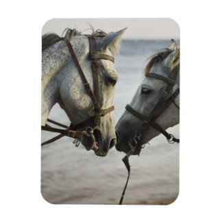 Two horses meeting. magnet