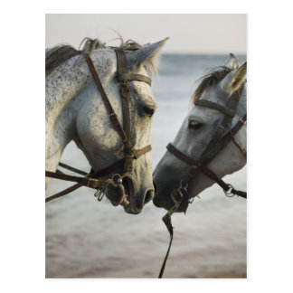 Two horses meeting. postcard