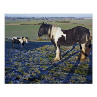 Two horses on Hackpen hill in North Wiltshire Poster