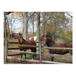 Two Horses! Postcard