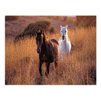 Two Horses Running Postcards