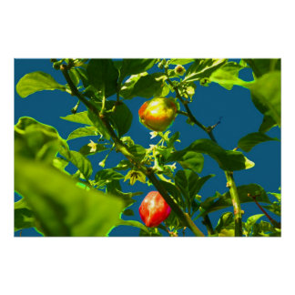 two hot peppers green foliage blue back.jpg poster
