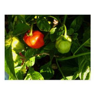 two hot peppers on the plant postcard