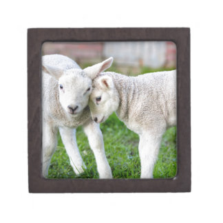 Two hugging and loving white lambs keepsake box
