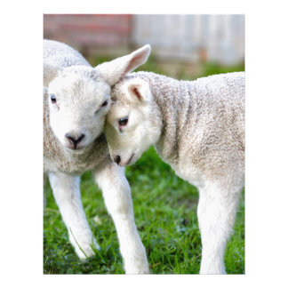 Two hugging and loving white lambs letterhead