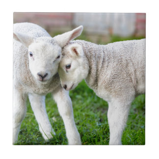 Two hugging and loving white lambs tile