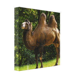 Two Humped Camel Canvas print
