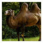 Two Humped Camel Poster