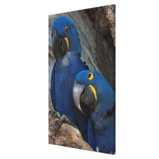 Two Hyacinth Macaws, Brazil Canvas Print