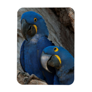 Two Hyacinth Macaws, Brazil Magnet