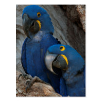 Two Hyacinth Macaws, Brazil Postcard