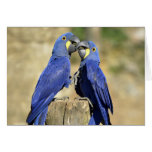 Two Hyacinth macaws Cards