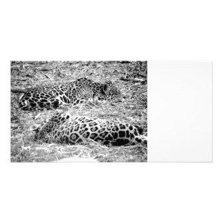 two jaguars black white sleeping animal photo card