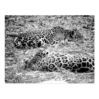 two jaguars black white sleeping animal postcard