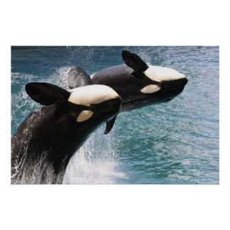 Two killer whales jumping out of water poster
