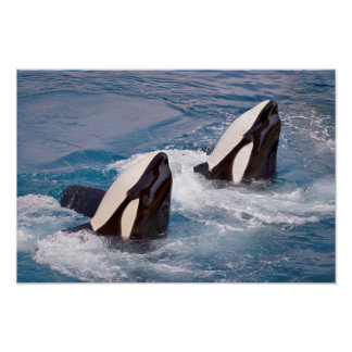 Two killer whales poster